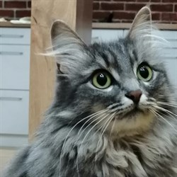 Кошка ШЭРОН - фото 4879