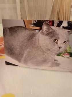 Кот британец Малыш - фото 5961