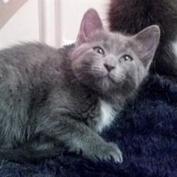 Кошка ДЫМКА - фото 6866