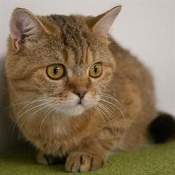 Кошка ЗЛАТА - фото 8563