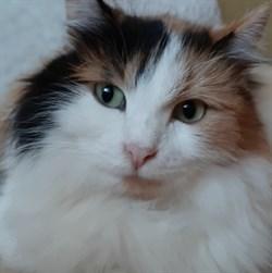 Кошка АЛИСА - фото 9067