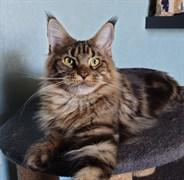 Кошка ИНДИС