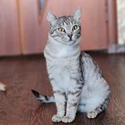 Кошка РИША