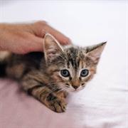 Кошка ПОНОЧКА