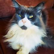 Кошка ШАРЛОТТА