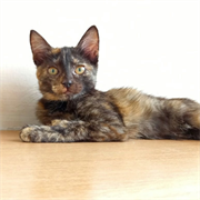 Кошка ЕСЕНИЯ