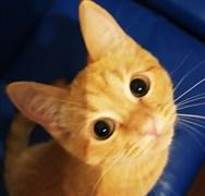 Кошка РЫСЬКА