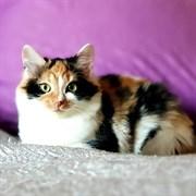 Кошка МИЛОТАТА