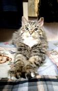 Кошка СОЙКА