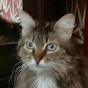 Кошка СОФИ