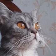 Кошка САБРИНА