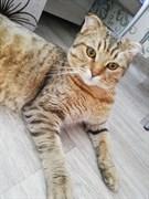 Кот шотландец в Дальнем засвьияжье