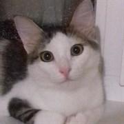 Кошка ШАНТИ