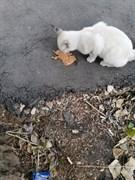 Кошка поинтовая на Автозаводской