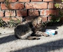 Кот в Новом городе Вислоухий