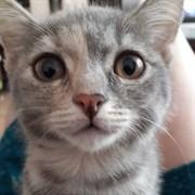 Кошка СИМКА