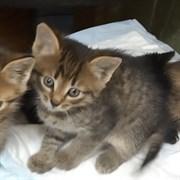 Кошка ИСУЗУ II