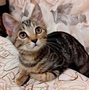 Кошка СИМОЧКА