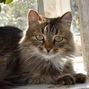 Кошка КАЗАЧОК