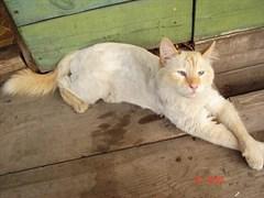 Кот Мотя в с. Белое Озеро