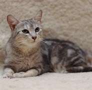 Кошка ВЕСТА
