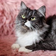 Кошка СИНДИ