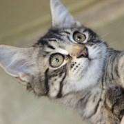 Кошка САНСА