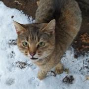 Кошка КИСУНЯ