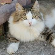 Кошка МИЛУШКА