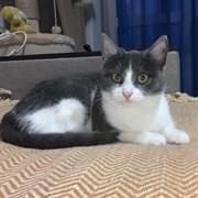 Кошка ПАМПУШЕЧКА