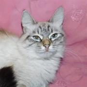 Кошка МОРОЖЕНКА