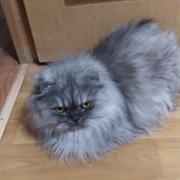 Кошка СЕРАЯ