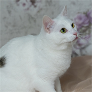 Кошка ХОЛЛИ